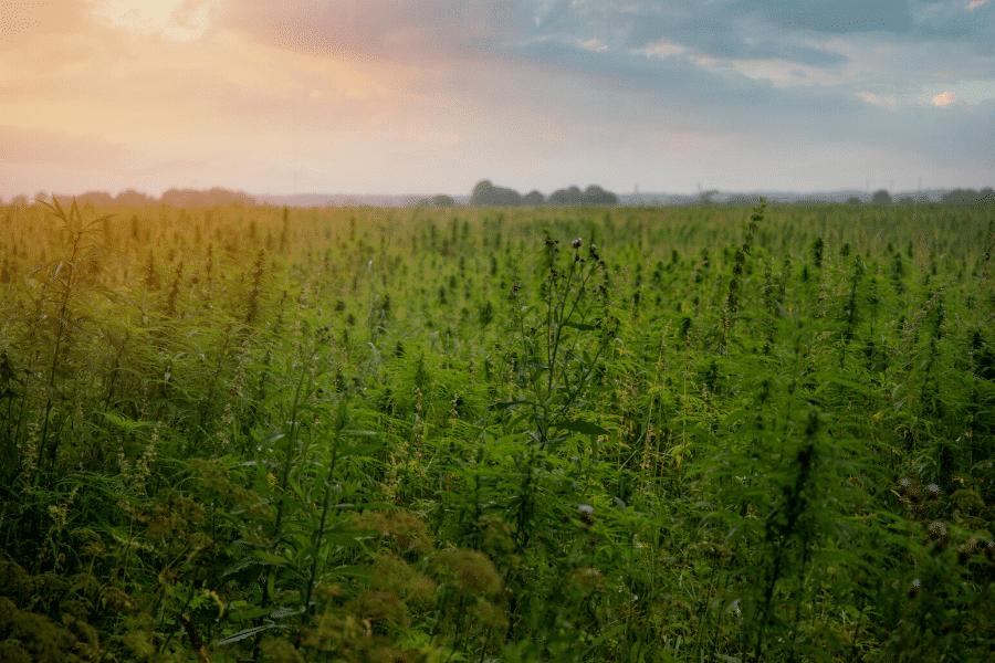 hemp growing in field