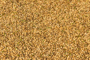 industrial hemp seeds vs cbd seeds